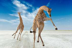 Giraffes jumping and running in a salt pan