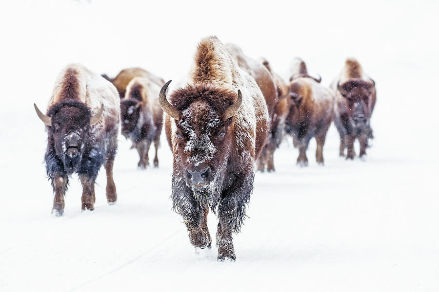 Bison walking on snow in Yellowstone National Park