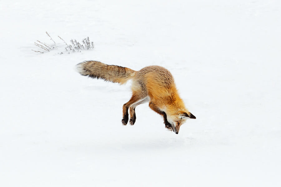 Fox jumping into the snow, head first, to capture most likely a mouse underneath in Yellowstone National Park