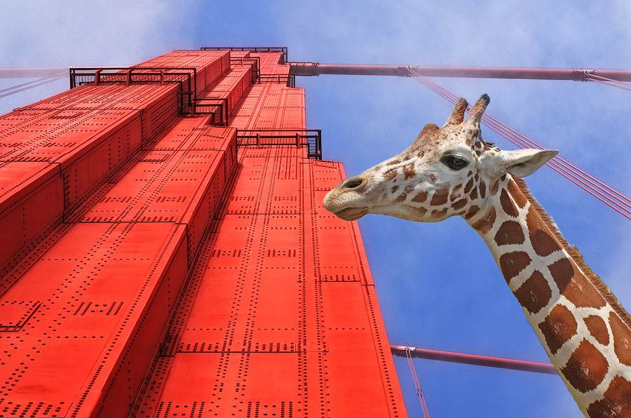 Golden Gate Bridge tower, our ambassador Sophie the giraffe standing right beside it. red tower and blue sky in San Francisco