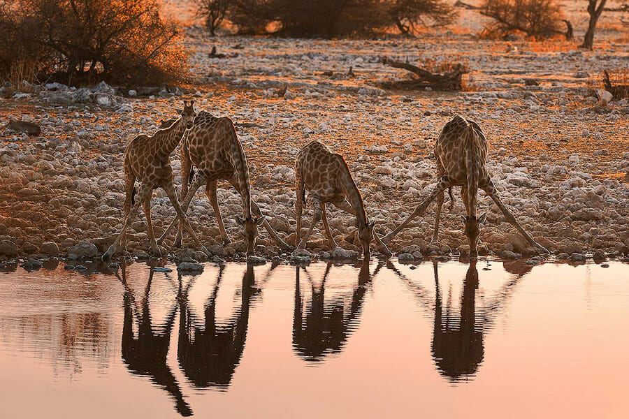 Hunter celebrates, four giraffes drinking at a waterhole at sunset