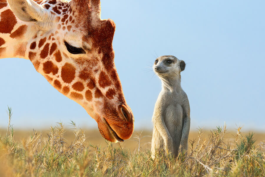 Luxury leather bags ambassador Sophie, a giraffe meets the meerkat Governor in the Kalahari grassland