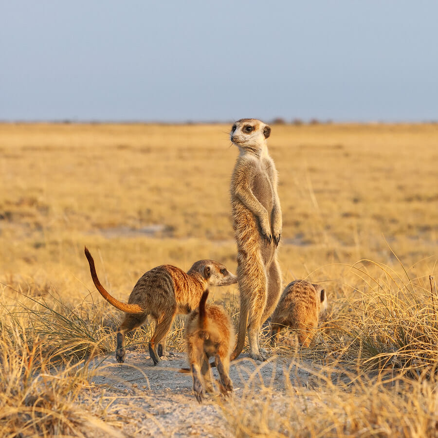 Meerkat family running in the desert of the Kalahari. One meerkat looking for predators