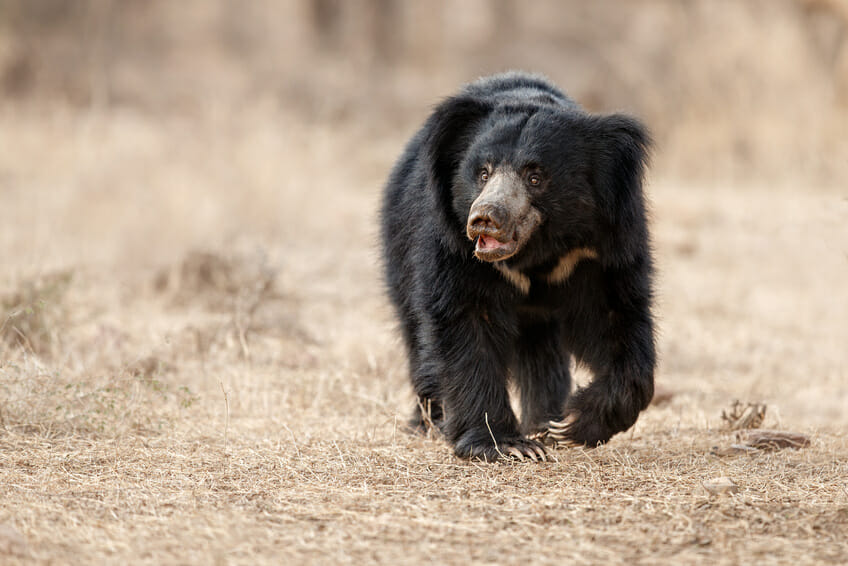 Sloth bear walking towards the photographer