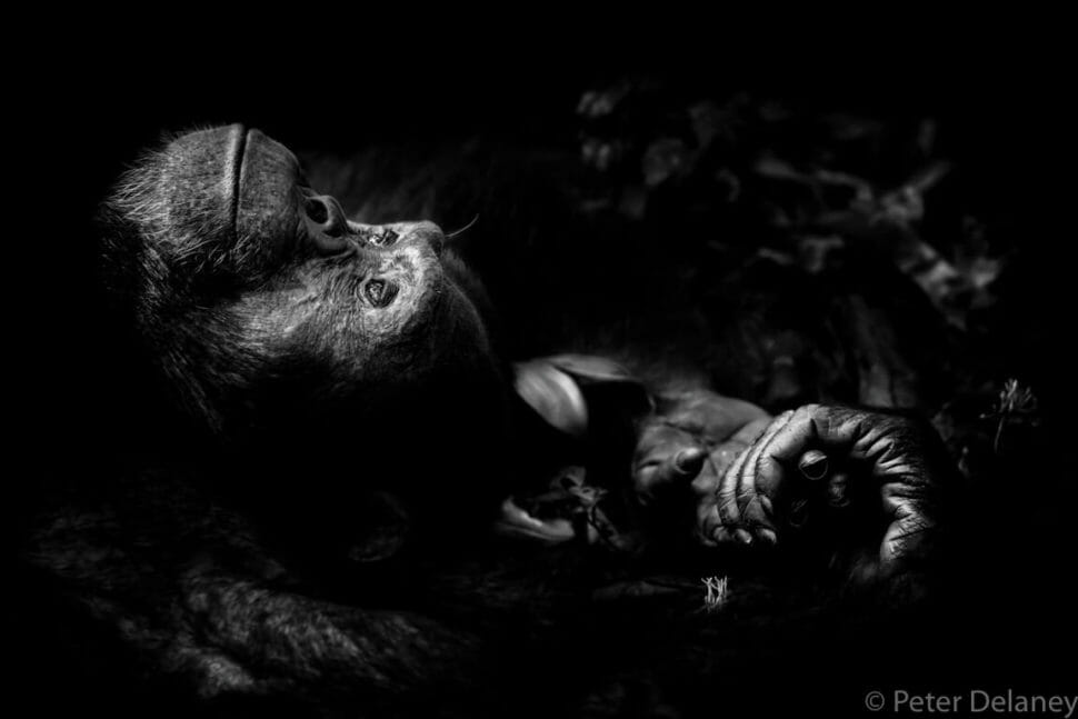 Wildlife photographer of the year 2017 picture, Chimpanzee dreaming, black and white portrait picture by Peter Delaney